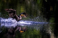b flatt cormorant splashdown good one focus